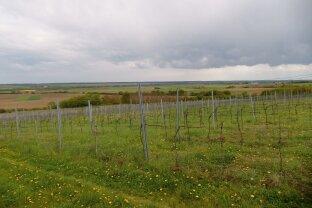 Ungarn: Schöner 6 jähriger Weingarten in Vaskeresztes (Großdorf)